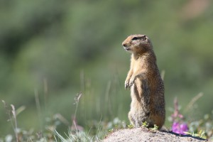 Prairie Dog in Alaska