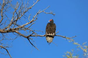 Vulture in our backyard in Nogales, Arizona